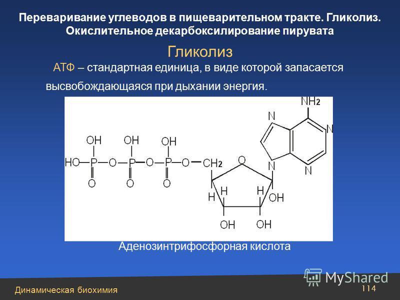 Динамическая биохимия Переваривание углеводов в пищеварительном тракте. Гликолиз. Окислительное декарбоксилирование пирувата 114 АТФ – стандартная единица, в виде которой запасается высвобождающаяся при дыхании энергия. Гликолиз Аденозинтрифосфорная