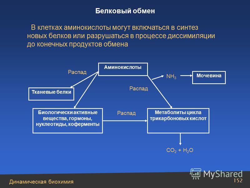 Динамическая биохимия 152 Аминокислоты Тканевые белки Биологически активные вещества, гормоны, нуклеотиды, коферменты Распад Метаболиты цикла трикарбоновых кислот Распад СО 2 + Н 2 О Мочевина NH 3 Распад В клетках аминокислоты могут включаться в синт