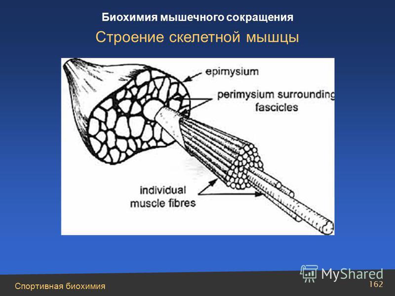 Спортивная биохимия 162 Биохимия мышечного сокращения Строение скелетной мышцы