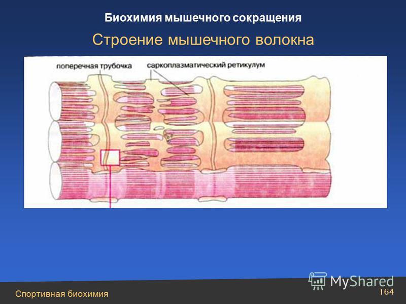 Спортивная биохимия 164 Биохимия мышечного сокращения Строение мышечного волокна