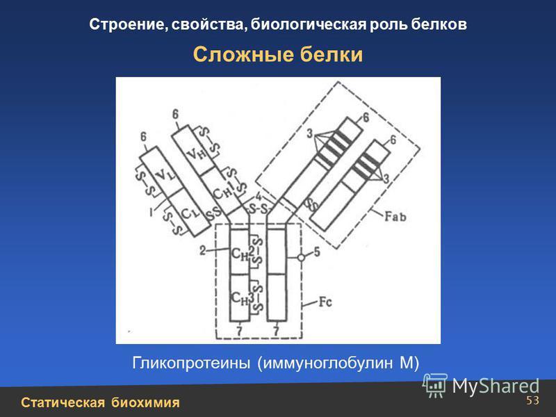 Статическая биохимия Строение, свойства, биологическая роль белков 53 Сложные белки Гликопротеины (иммуноглобулин М)