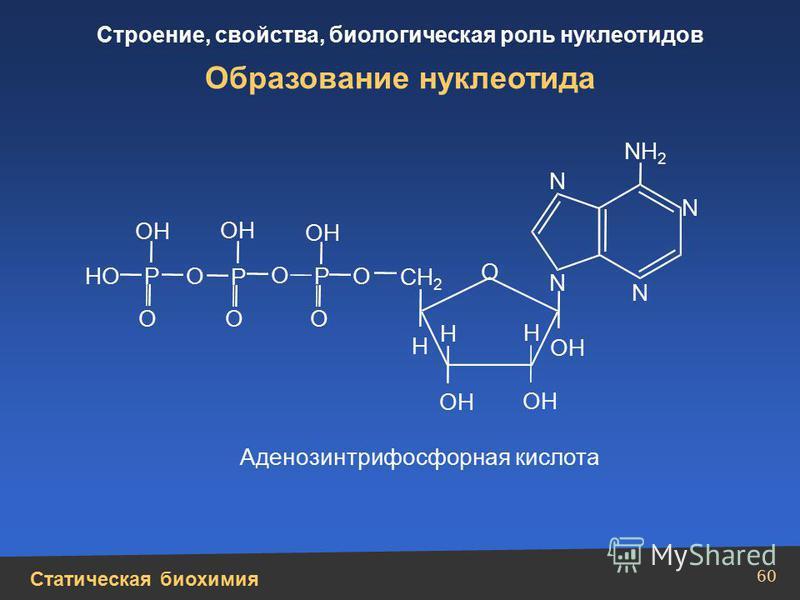 Статическая биохимия Строение, свойства, биологическая роль нуклеотидов 60 Образование нуклеотида СН 2 N N N N NН2Н2 Н Н ОН Н О ОО О О О НО О Р Р Р Аденозинтрифосфорная кислота