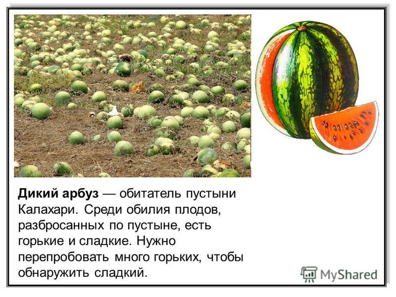 Дикий арбуз обитатель пустыни Калахари. Среди обилия плодов, разбросанных по пустыне, есть горькие и сладкие. Нужно перепробовать много горьких, чтобы обнаружить сладкий.