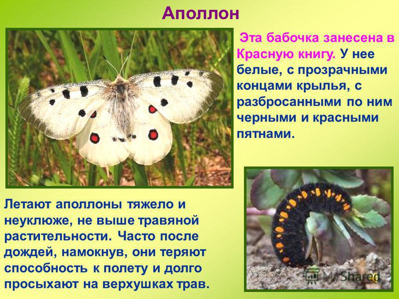 Павлиний глаз На крыльях у этой бабочки рисунок, напоминающий павлиньи глаза, те самые, что у павлина на перьях. Зимует во взрослой форме на чердоках, в подвалах, пещерах и тому подобных укромных уголках. Снова вылетает ранней весной.