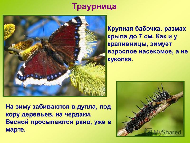 Аполлон Эта бабочка занесена в Красную книгу. У нее белые, с прозрачными концами крылья, с разбросанными по ним черными и красными пятнами. Летают аполлоны тяжело и неуклюже, не выше травяной растительности. Часто после дождей, намокнув, они теряют с
