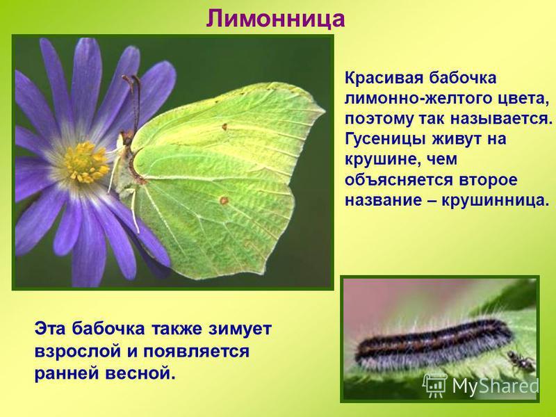 Траурница Крупная бабочка, размах крыла до 7 см. Как и у крапивницы, зимует взрослое насекомое, а не куколка. На зиму забиваются в дупла, под кору деревьев, на чердаки. Весной просыпаются рано, уже в марте.