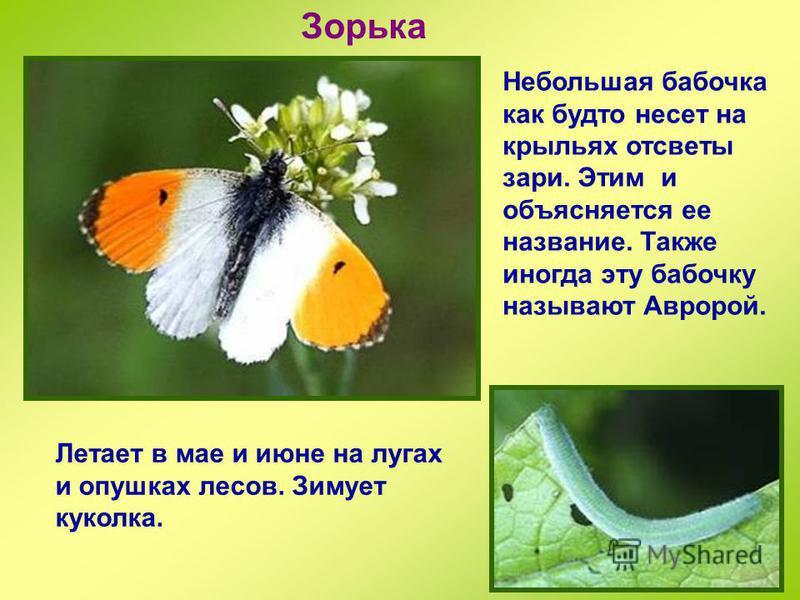 Лимонница Красивая бабочка лимонно-желтого цвета, поэтому так называется. Гусеницы живут на крушине, чем объясняется второе название – крушинница. Эта бабочка также зимует взрослой и появляется ранней весной.