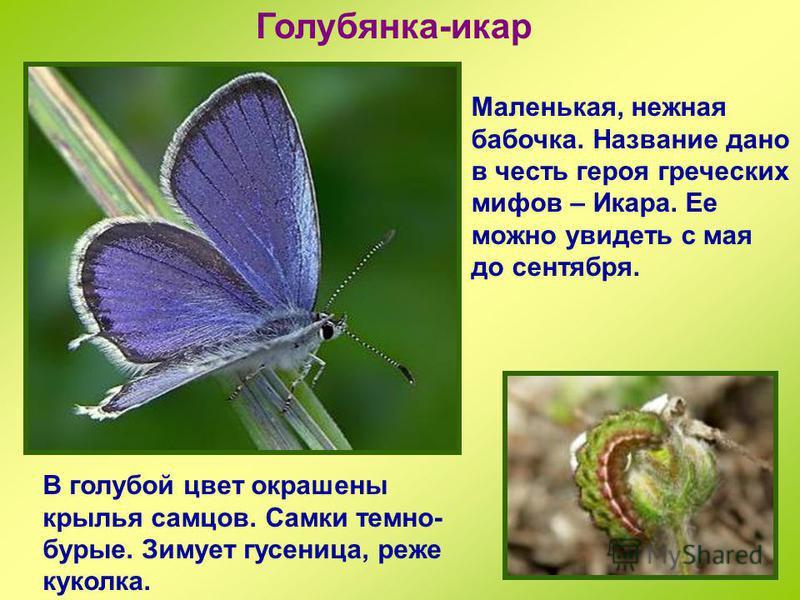 Зорька Небольшая бабочка как будто несет на крыльях отсветы зари. Этим и объясняется ее название. Также иногда эту бабочку называют Авророй. Летает в мае и июне на лугах и опушках лесов. Зимует куколка.