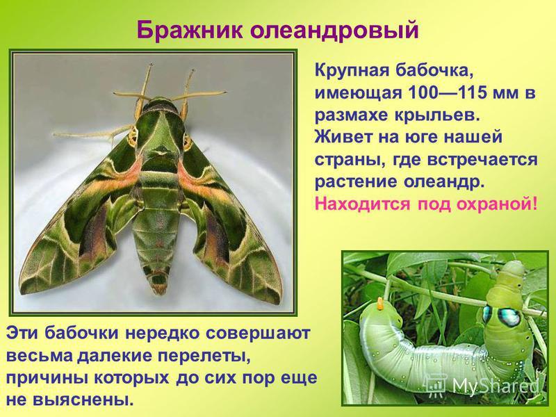 Мертвая голова Очень крупный бражник, до 13 см в размахе крыльев. На спине рисунок в виде черепа, за что и получил свое название. Бабочки любят проникнуть в пчелиный улей, а потом напиться там меда. Кроме черепа на груди, бражник мертвая голова извес