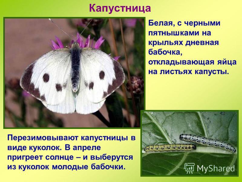 Крапивница Одна из самых известных дневных бабочек. Такое название ей дано потому, что ее гусиницы кормятся листьями крапивы. У крапивницы зимует взрослое насекомое, а не куколка, как у многих бабочек.