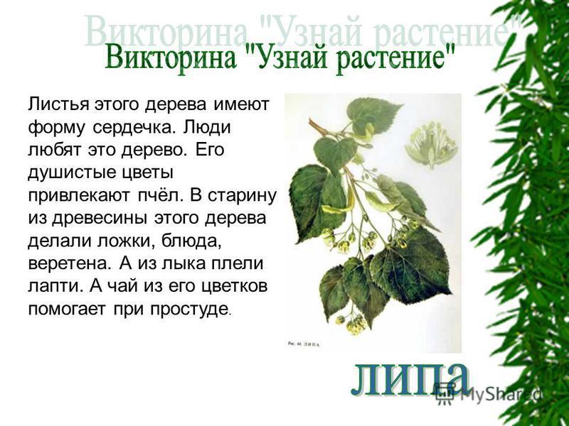 Листья этого дерева имеют форму сердечка. Люди любят это дерево. Его душистые цветы привлекают пчёл. В старину из древесины этого дерева делали ложки, блюда, веретена. А из лыка плели лапти. А чай из его цветков помогает при простуде.