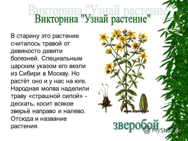 В старину это растение считалось травой от девяносто девяти болезней. Специальным царским указом его везли из Сибири в Москву. Но растёт оно и у нас на юге. Народная молва наделили траву «страшной силой» - дескать, косит всякое зверьё направо и налев
