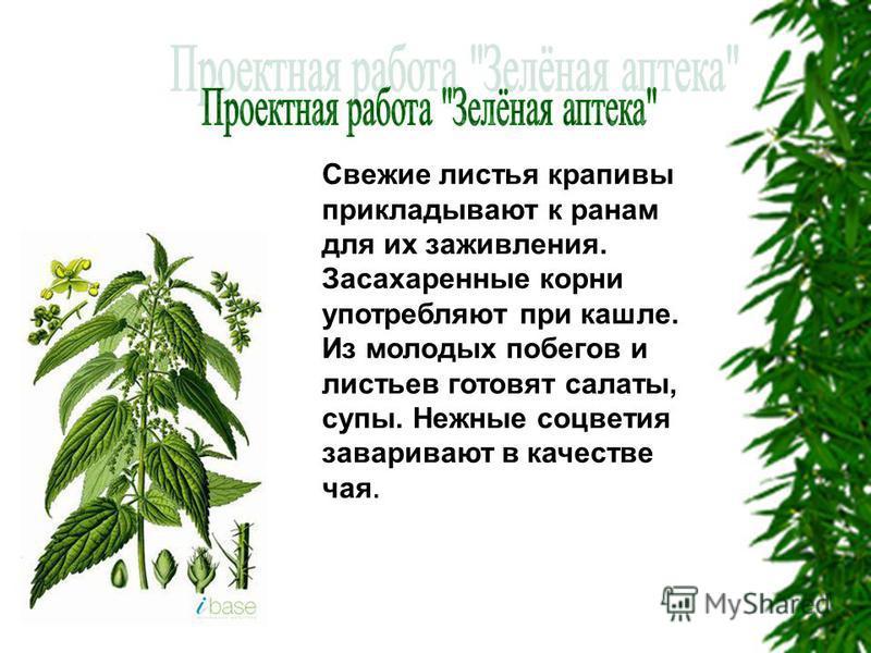 Свежие листья крапивы прикладывают к ранам для их заживления. Засахаренные корни употребляют при кашле. Из молодых побегов и листьев готовят салаты, супы. Нежные соцветия заваривают в качестве чая.