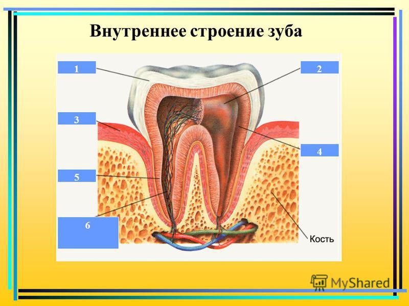 Внутреннее строение зуба 12 3 4 5 6