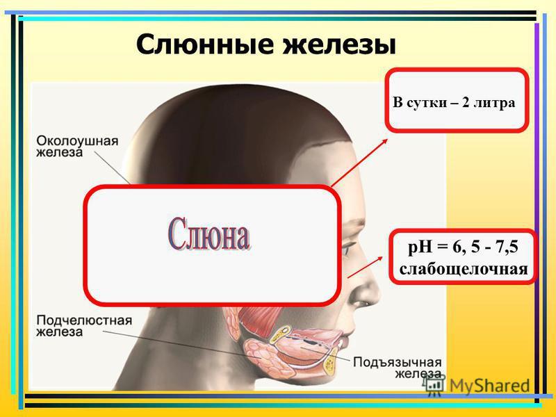 Слюнные железы В сутки – 2 литра рH = 6, 5 - 7,5 слабощелочная