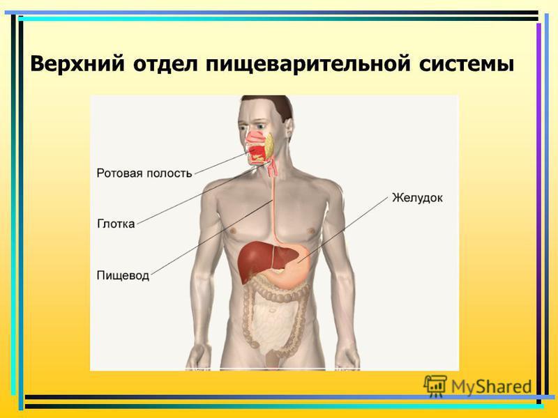 Верхний отдел пищеварительной системы