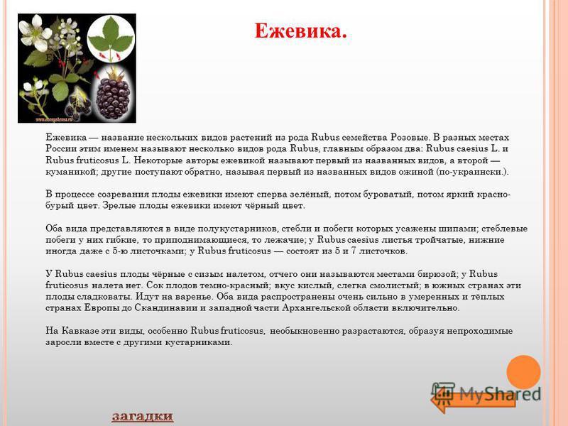 Ежевика. Ежевика Ежевика название нескольких видов растений из рода Rubus семейства Розовые. В разных местах России этим именем называют несколько видов рода Rubus, главным образом два: Rubus caesius L. и Rubus fruticosus L. Некоторые авторы ежевикой
