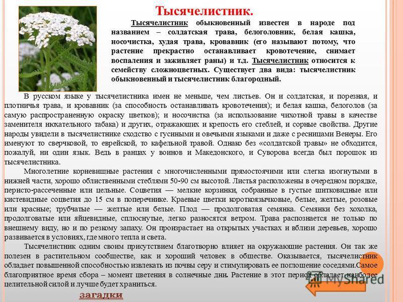В русском языке у тысячелистника имен не меньше, чем листьев. Он и солдатская, и полезная, и плотничья трава, и кровавник (за способность останавливать кровотечения); и белая кашка, белоголов (за самую распространенную окраску цветков); и нос очистка