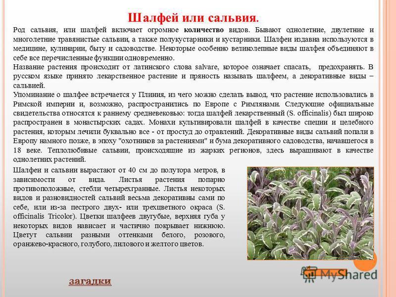 Шалфей или сальвия. Род сальвия, или шалфей включает огромное количество видов. Бывают однолетние, двулетние и многолетние травянистые сальвии, а также полукустарники и кустарники. Шалфеи издавна используются в медицине, кулинарии, быту и садоводстве