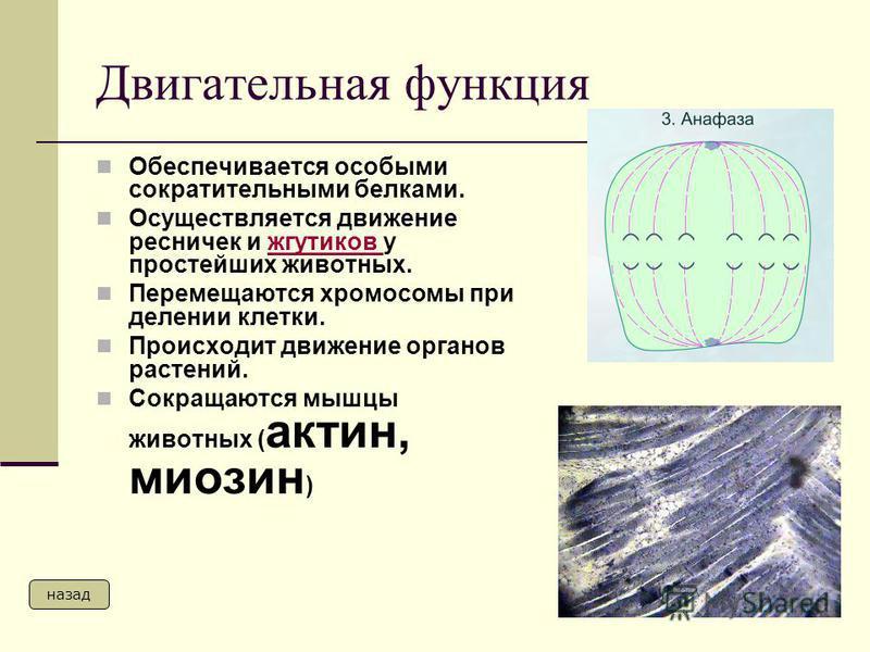 Двигательная функция Обеспечивается особыми сократительными белками. Осуществляется движение ресничек и жгутиков у простейших животных.жгутиков Перемещаются хромосомы при делении клетки. Происходит движение органов растений. Сокращаются мышцы животны