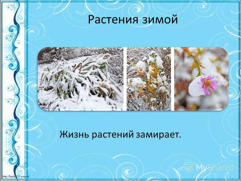 Растения зимой Жизнь растений замирает.