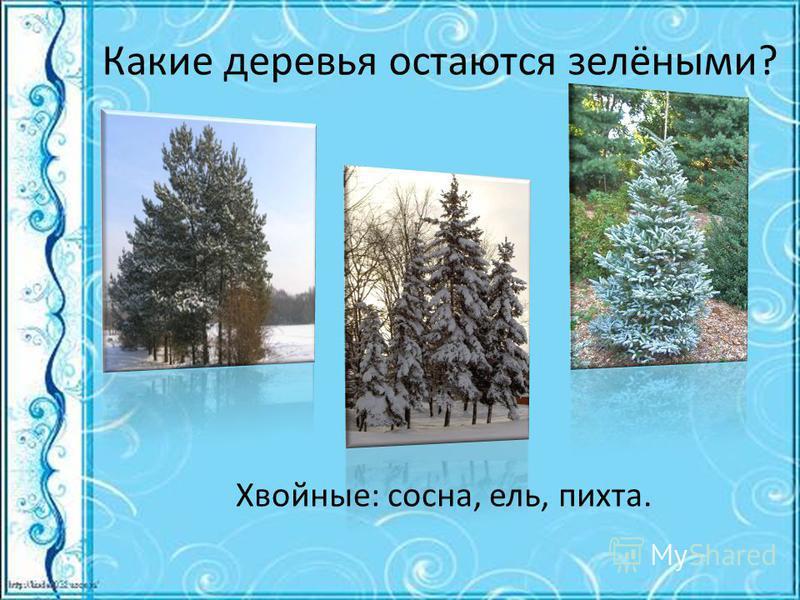 Какие деревья остаются зелёными? Хвойные: сосна, ель, пихта.