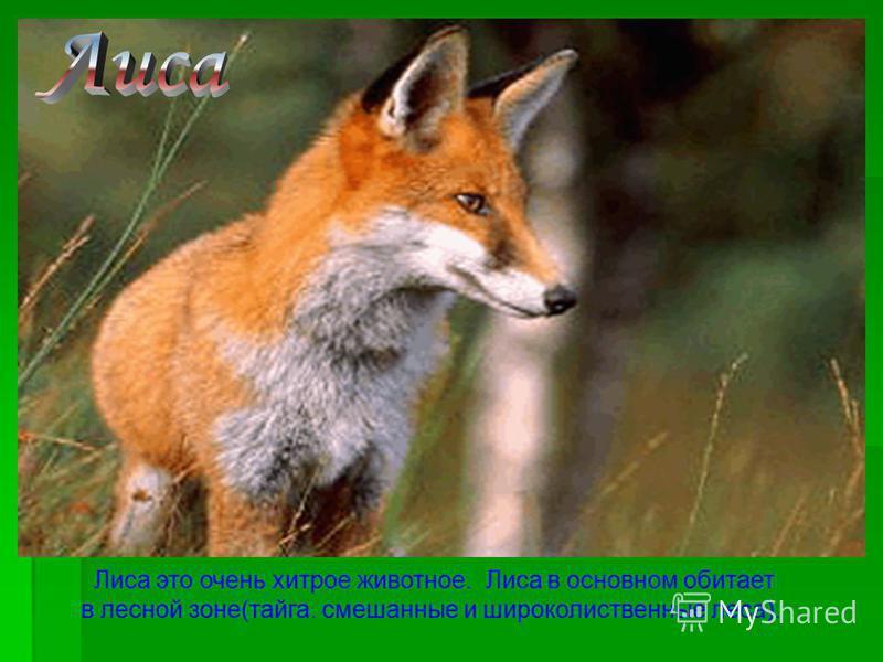 Лиса это очень хитрое животное. Лиса в основном обитает в лесной зоне(тайга. смешанные и широколиственные леса).