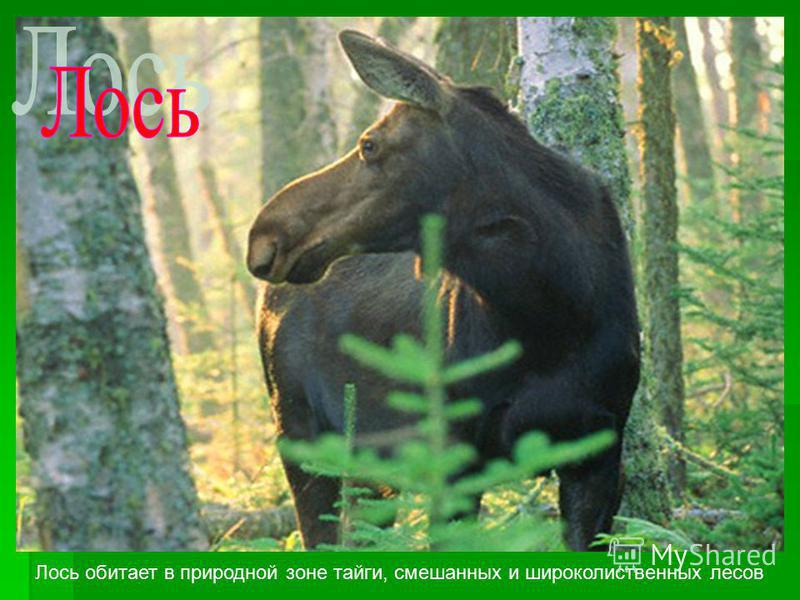 Лось обитает в природной зоне тайги, смешанных и широколиственных лесов