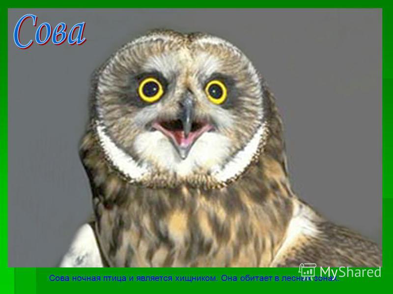 Сова ночная птица и является хищником. Она обитает в лесных зонах.