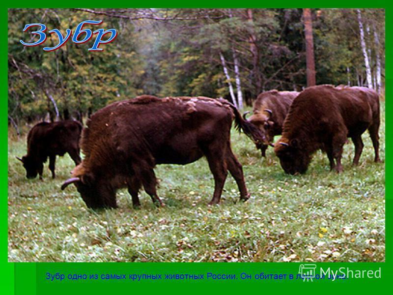 Зубр одно из самых крупных животных России. Он обитает в лесной зоне.