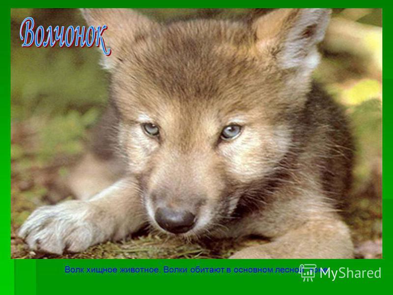Волк хищное животное. Волки обитают в основном лесной зоне.