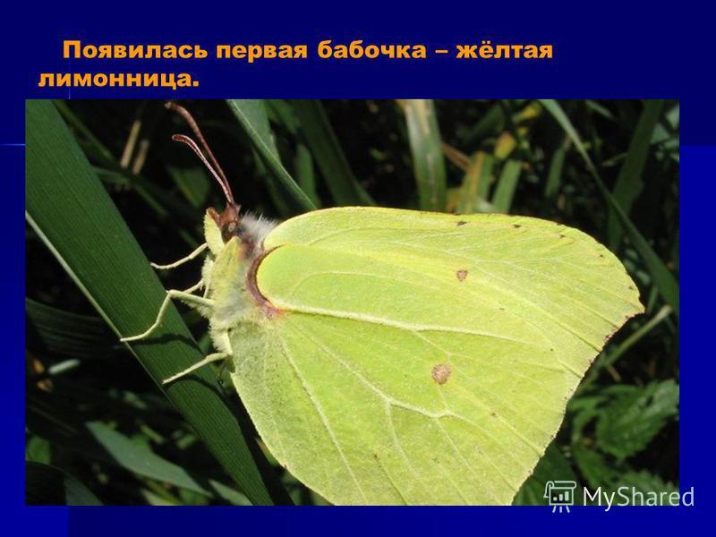 Появилась первая бабочка – жёлтая лимонница.