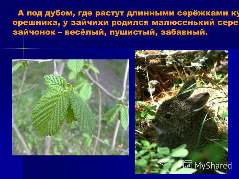 А под дубом, где растут длинными серёжками кусты орешника, у зайчихи родился малюсенький серенький зайчонок – весёлый, пушистый, забавный.
