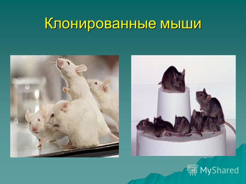 Клонированные мыши