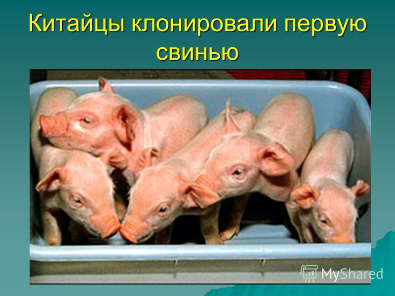 Китайцы клонировали первую свинью