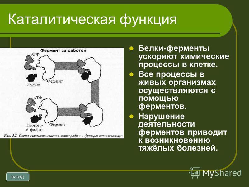 Каталитическая функция Белки-ферменты ускоряют химические процессы в клетке. Все процессы в живых организмах осуществляются с помощью ферментов. Нарушение деятельности ферментов приводит к возникновению тяжёлых болезней. назад