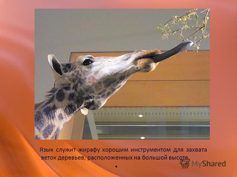 Язык служит жирафу хорошим инструментом для захвата веток деревьев, расположенных на большой высоте.