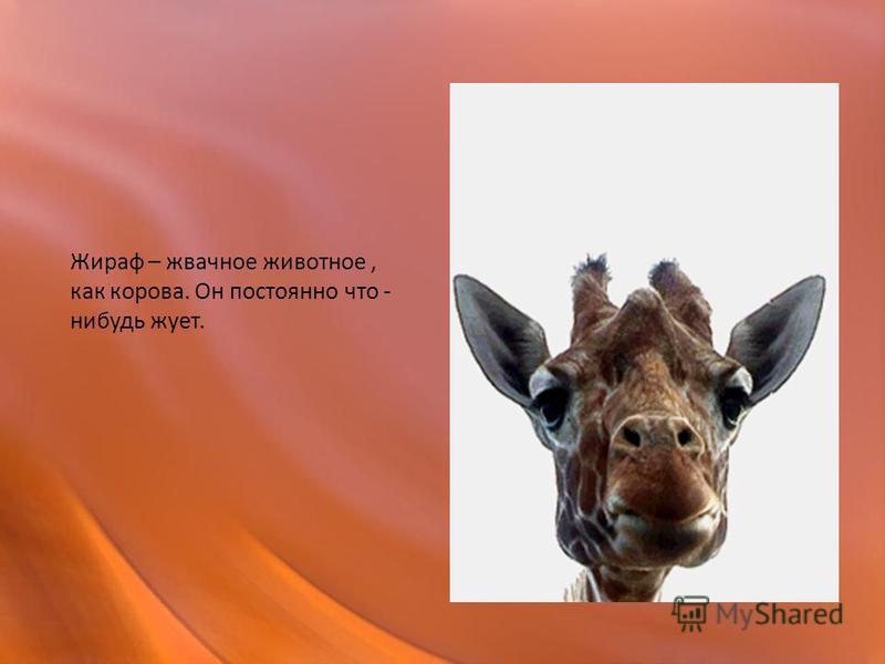Жираф – жвачное животное, как корова. Он постоянно что - нибудь жует.