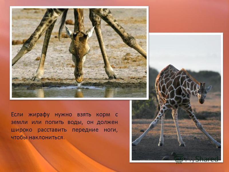 Если жирафу нужно взять корм с земли или попить воды, он должен широко расставить передние ноги, чтобы наклониться.