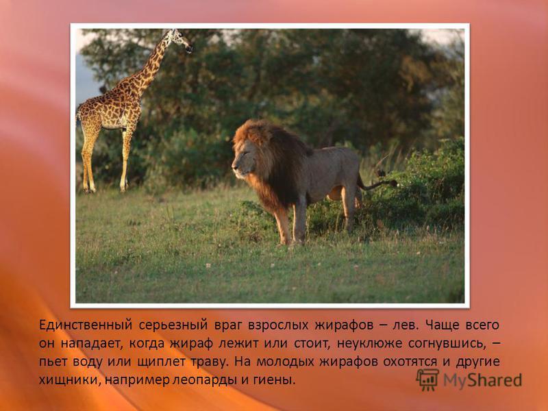 Единственный серьезный враг взрослых жирафов – лев. Чаще всего он нападает, когда жираф лежит или стоит, неуклюже согнувшись, – пьет воду или щиплет траву. На молодых жирафов охотятся и другие хищники, например леопарды и гиены.