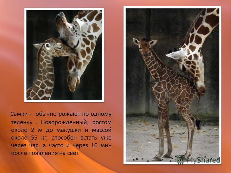 Самки - обычно рожают по одному теленку. Новорожденный, ростом около 2 м до макушки и массой около 55 кг, способен встать уже через час, а часто и через 10 мин после появления на свет.