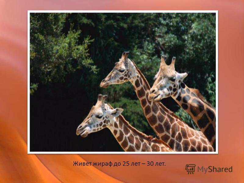 Живет жираф до 25 лет – 30 лет.