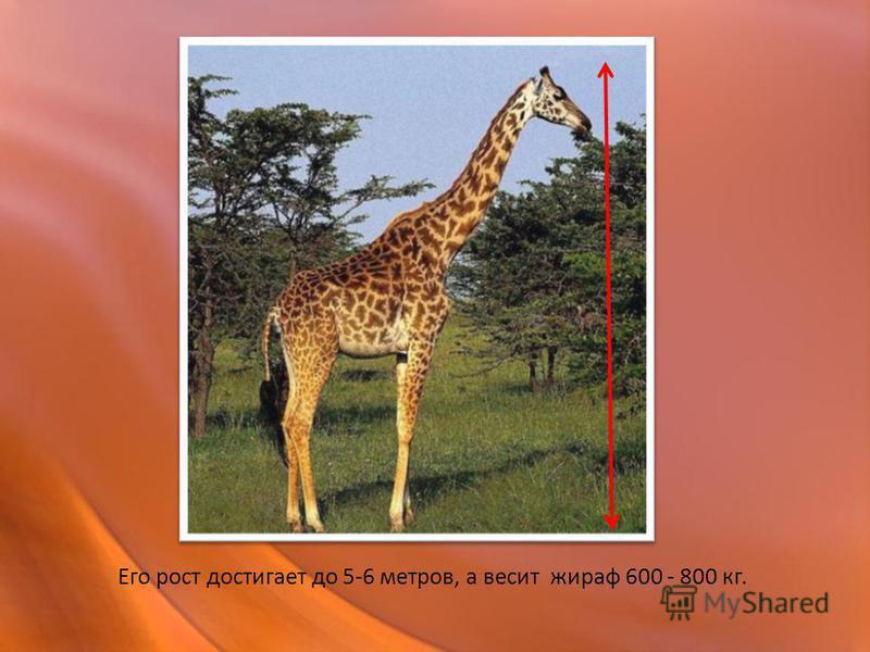 Его рост достигает до 5-6 метров, а весит жираф 600 - 800 кг.