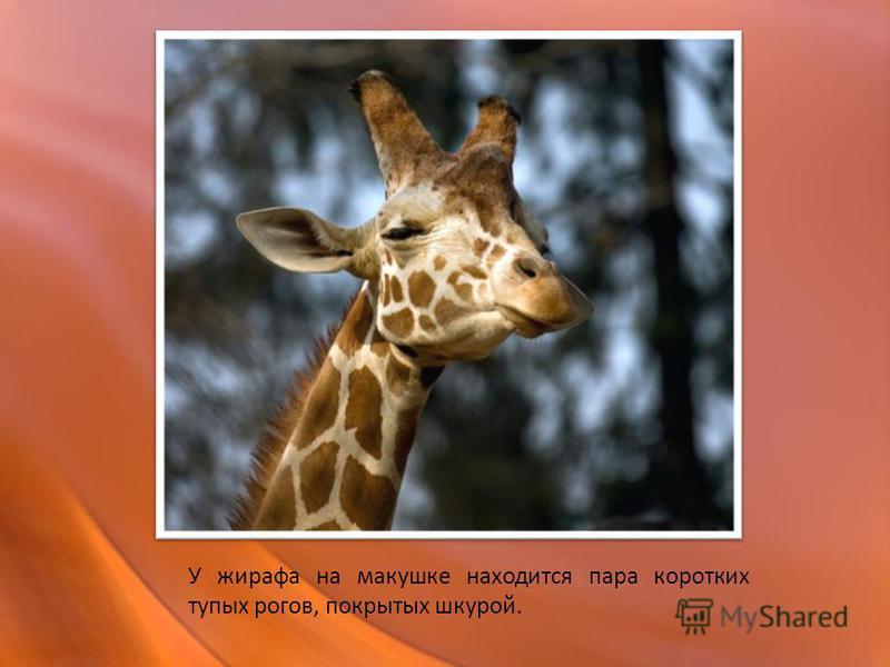 У жирафа на макушке находится пара коротких тупых рогов, покрытых шкурой.