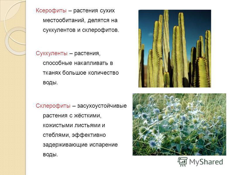 Ксерофиты – растения сухих местообитаний, делятся на суккулентов и склерофитов. Суккуленты – растения, способные накапливать в тканях большое количество воды. Склерофиты – засухоустойчивые растения с жёсткими, кожистыми листьями и стеблями, эффективн