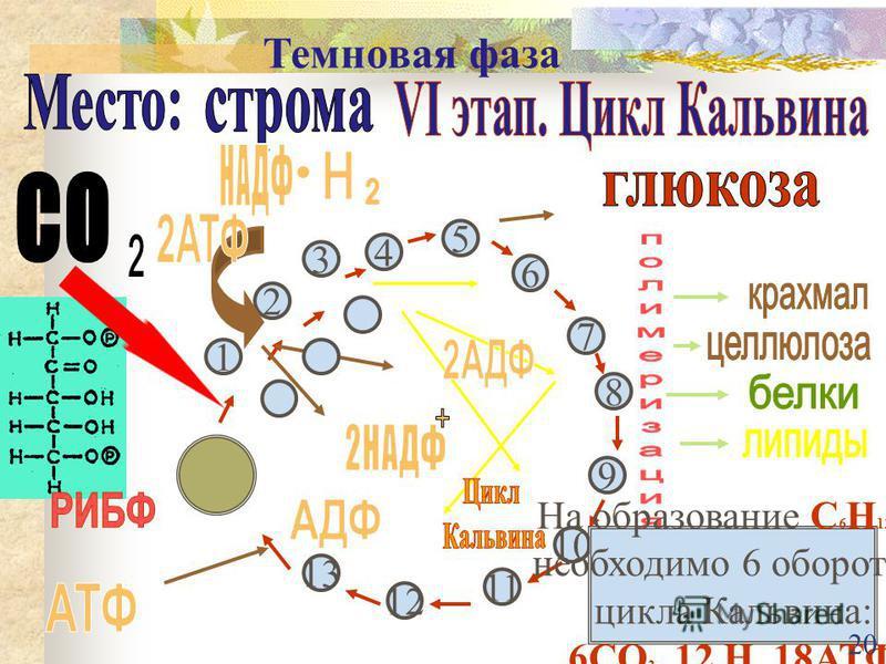 6 5 4 7 8 9 10 11 12 13 3 1 2 На образование С 6 Н 12 О 6 необходимо 6 оборотов цикла Кальвина: 6СО 2, 12 Н, 18АТФ 20 Темновая фаза