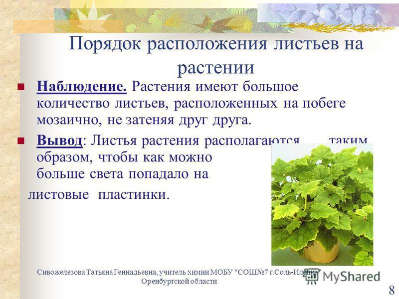 Порядок расположения листьев на растении Наблюдение. Растения имеют большое количество листьев, расположенных на побеге мозаично, не затеняя друг друга. Вывод: Листья растения располагаются таким образом, чтобы как можно больше света попадало на лист