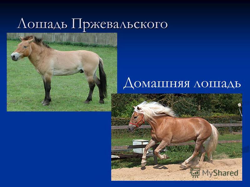 Лошадь Пржевальского Домашняя лошадь