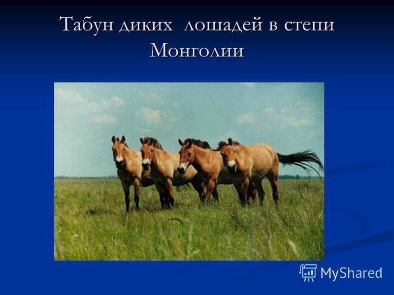 Табун диких лошадей в степи Монголии
