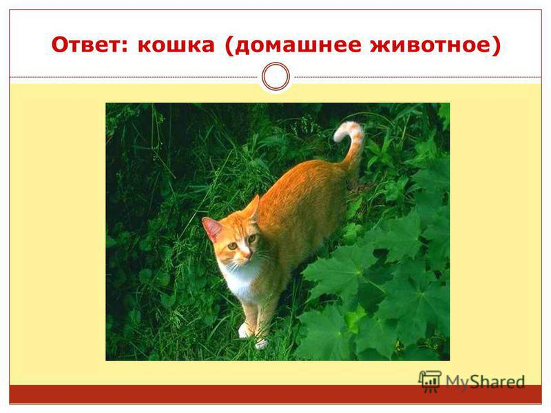 Ответ: кошка (домашнее животное)
